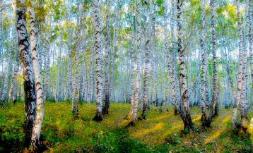 The Legend of the Grove of Dancing Birch Trees